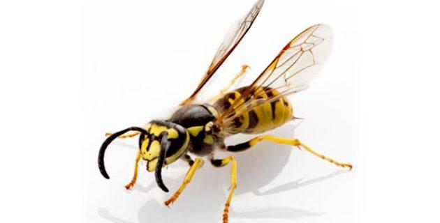 Almanya'da şarap festivaline eşek arısı saldırısı
