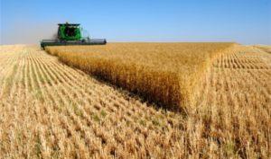 Dünyanın buğday stoğu bitti!
