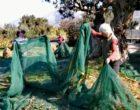 Girit zeytinyağının litresi 1.000 euro