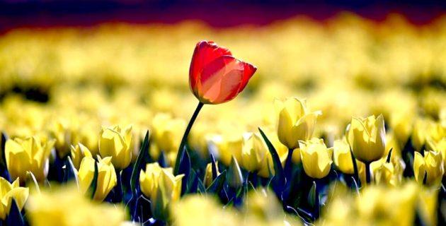 Koronavirüs Hollanda lalelerini de vurdu: Çiçeklerin yüzde 70'i imha edildi