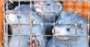 1,5 milyon hayvanın itlaf edildiği Hollanda'da vizon çiftlikleri tamamen kapatılıyor